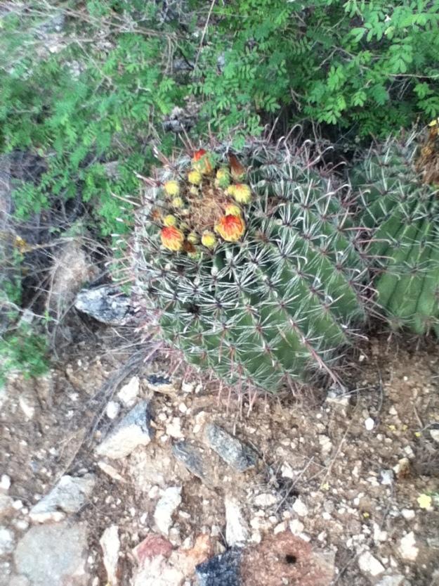 Infloresc cactusii de toamna