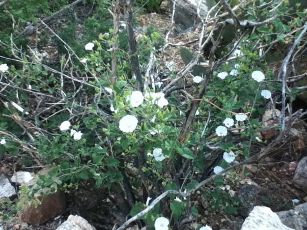 Flori albe, care cresteau pe niste bete care pareau moarte demult.